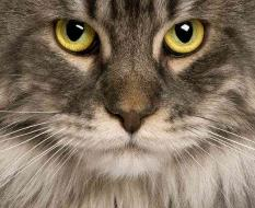 Charming Maine Coon cat 04