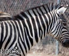 zebra5а