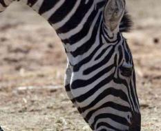 zebra6а