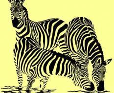 zebra_век